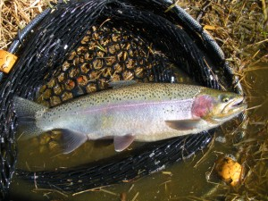 Daryl-Bauer-Trout-DSCN2750-300x225