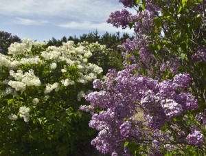 Meadowlark Hill Lilac Collection @ 14 Miles SE of Ogallala | Ogallala | Nebraska | United States